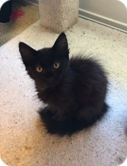 Maine Coon Kitten for adoption in Austin, Texas - Mac