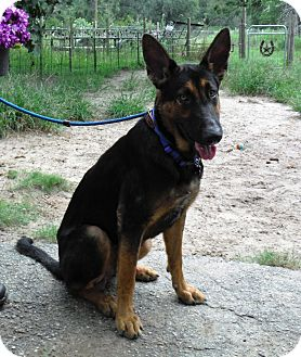 German Shepherd Dog Dog for adoption in SAN ANTONIO, Texas - FRANKIE