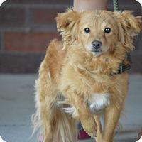 Adopt A Pet :: Lacey - Cokato, MN