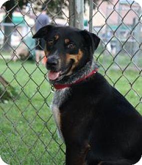 Australian Cattle Dog/Shepherd (Unknown Type) Mix Dog for adoption in Northbrook, Illinois - Kamie