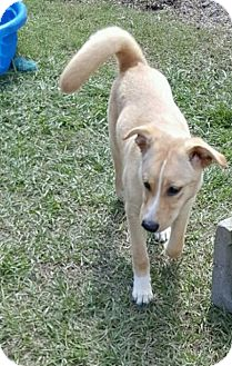 Labrador Retriever Mix Puppy for adoption in Hammond, Louisiana - Sandy