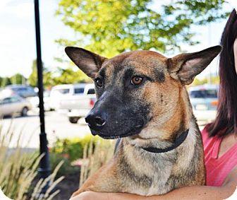 Belgian Malinois/German Shepherd Dog Mix Dog for adoption in Gretna, Nebraska - Rocco