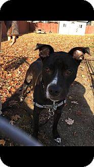 American Pit Bull Terrier Mix Dog for adoption in Acushnet, Massachusetts - Bud-E