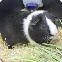 Guinea Pig for adoption in Golden, Colorado - Piggins