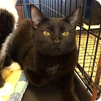 Bombay Cat for adoption in Staten Island, New York - Hannah