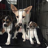 Adopt A Pet :: Abby - Saddle Brook, NJ