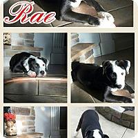 Adopt A Pet :: Rae pending adoption - Manchester, CT