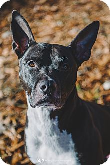 Pit Bull Terrier Mix Dog for adoption in Cincinnati, Ohio - Romeo- COURTESY POST
