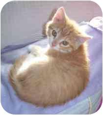 Domestic Shorthair Kitten for adoption in Marietta, Georgia - Alvin
