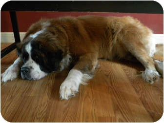 St. Bernard Dog for adoption in Cincinnati, Ohio - Carly
