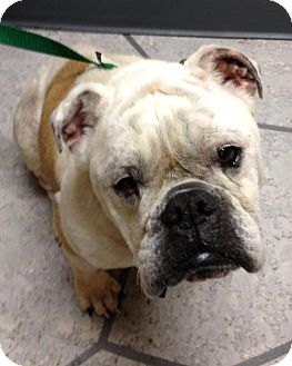English Bulldog Dog for adoption in Gainesville, Florida - Isa