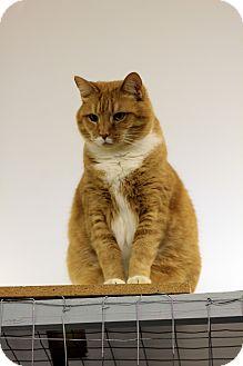 Domestic Shorthair Cat for adoption in Mission, British Columbia - Toni