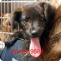 Adopt A Pet :: winter - baltimore, MD