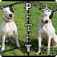 Adopt A Pet :: Petey - Tampa, FL