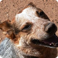 Australian Cattle Dog Dog for adoption in Las Cruces, New Mexico - Jake
