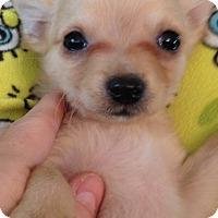 Adopt A Pet :: Haley - Gilbert, AZ