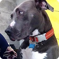 Adopt A Pet :: Olivia - Livermore, CA