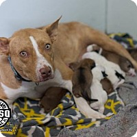 Corgi/American Pit Bull Terrier Mix Dog for adoption in Tuskegee, Alabama - Goldey