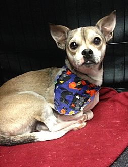 Chihuahua Mix Dog for adoption in Bedford, Texas - Lobo