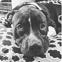 Adopt A Pet :: Klaus - Bellingham, WA