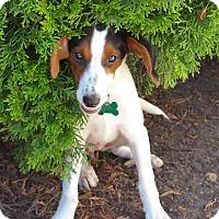 Adopt A Pet :: Peyton - Aurora, IL