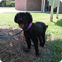 Poodle (Miniature) Mix Dog for adoption in Spartanburg, South Carolina - Cindy Lou