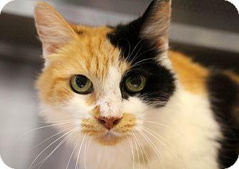 Domestic Shorthair Cat for adoption in Sarasota, Florida - Bonanza