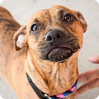 Adopt A Pet :: Pebbles - DFW, TX