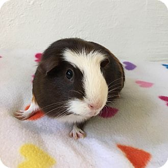 Guinea Pig for adoption in Grand Rapids, Michigan - Beatrice