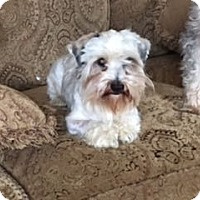 Miniature Schnauzer Mix Dog for adoption in Sharonville, Ohio - Donovan