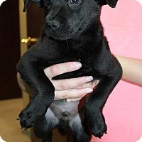 Adopt A Pet :: Blu - GREENLAWN, NY