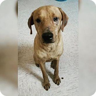 Retriever (Unknown Type)/Labrador Retriever Mix Dog for adoption in Dana Point, California - Duncan