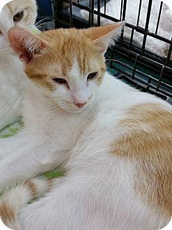 Domestic Shorthair Kitten for adoption in Little Falls, New Jersey - Harrison (KV)