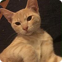 Domestic Shorthair Kitten for adoption in Madisonville, Louisiana - Jeff