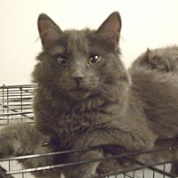 Domestic Longhair Cat for adoption in Montreal, Quebec - Betty
