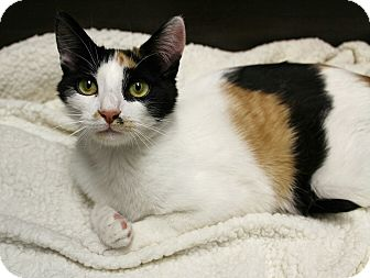 Domestic Shorthair Cat for adoption in Wayne, New Jersey - Figgy