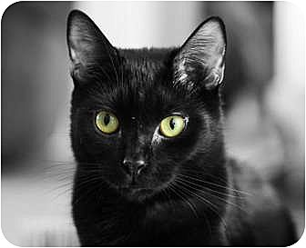 Domestic Shorthair Cat for adoption in Carlisle, Pennsylvania - Hoku