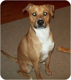 Feist/Boxer Mix Dog for adoption in Haughton, Louisiana - Buddy