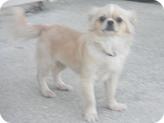 Pekingese Mix Dog for adoption in Orange Park, Florida - Samantha