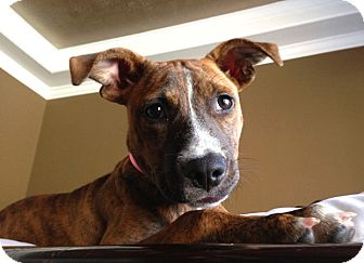 Boxer Mix Puppy for adoption in Houston, Texas - Chloe