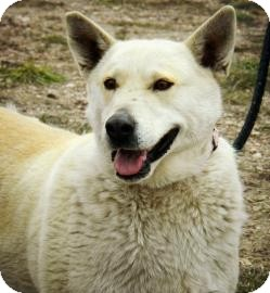 Siberian Husky/Shar Pei Mix Dog for adoption in Cheyenne, Wyoming - Pandora