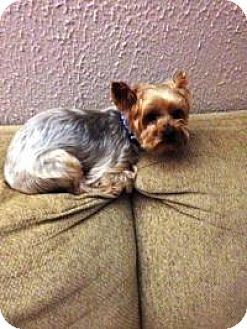 yorkie rescue missouri house springs mo yorkie yorkshire terrier silky 8245