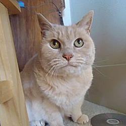 Photo 4 - Domestic Shorthair Cat for adoption in Berkeley, California - Homer