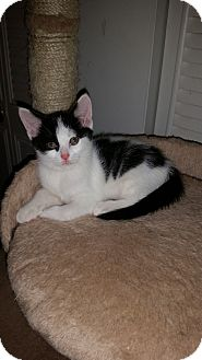 Domestic Shorthair Kitten for adoption in Turnersville, New Jersey - Pickles