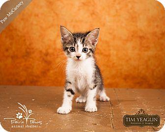 Domestic Shorthair Cat for adoption in Ottawa, Kansas - Paw McCartney
