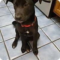 Blue Lacy/Texas Lacy/Labrador Retriever Mix Puppy for adoption in Houston, Texas - Meadow