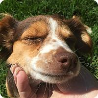 Adopt A Pet :: Sis - Kirkland, WA