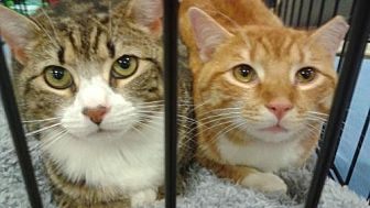 Domestic Shorthair Cat for adoption in Ephrata, Pennsylvania - Fred and Hermoine