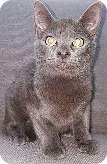 Russian Blue Kitten for adoption in Albemarle, North Carolina - Harry Truman