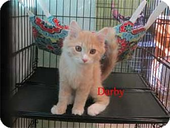 Domestic Shorthair Kitten for adoption in Warren, Pennsylvania - Darby
